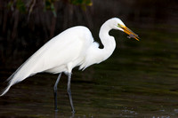 Great Egret, with flounder
