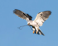 White-tailed Kite, with nesting material