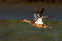 Northern Shoveler, female in flight