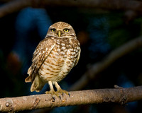 Burrowing Owl perched in tree