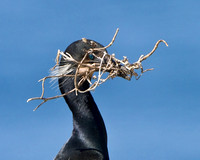 Brandt's Cormorant, with nest material