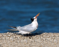 Elegant Tern, courtship feeding display