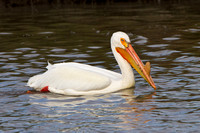 American White Pelican, breeding adult