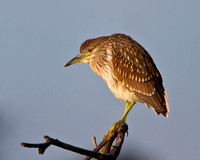 Black-crowned Night Heron, juvenile