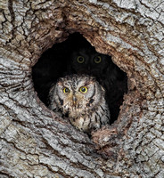 Pair of Western Screech-Owls at nest