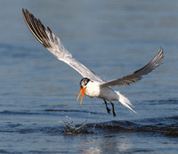 Elegant Tern, after losing fish