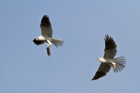 White-tailed Kites, exchanging mouse in mid-air