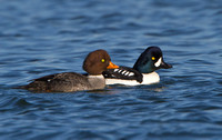 Barrow's Goldeneye, female & male