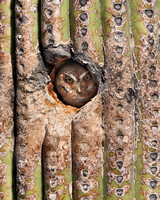 Elf Owl, peeking out from nest cavity in Saguaro cactus