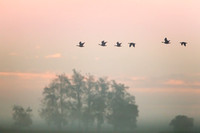 Greater White-fronted Geese, sunrise flight