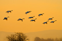 Tundra Swans, at sunset
