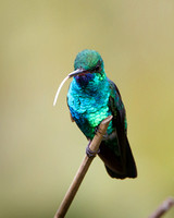 Blue-chinned Saphire