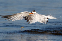 Elegant Tern, dropping fish