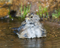Golden-crowned Sparrow, bathing