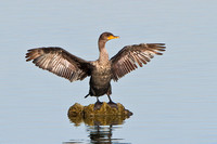 Double-crested Cormorant drying outspread wings