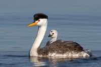 Clark's Grebe, with chick riding on parent's back