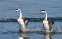 Western Grebes, courtship display