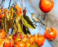Yellow-rumped Warbler, feeding on persimmons
