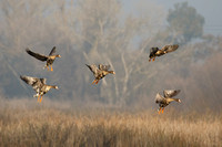 Greater White-fronted Geese, in flight