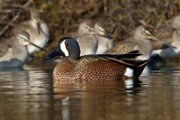 Blue-winged Teal & Dowitchers