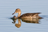 Northern Pintail, mother & chick
