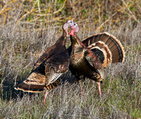 Wild Turkeys fighting