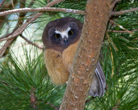 Northern Saw-whet Owl, juvenile