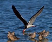 Black Skimmer, with Dowitchers