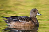 American Widgeon, female