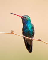 Broad-billed Hummingbird, perched