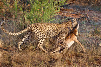 Leopard with Steenbok
