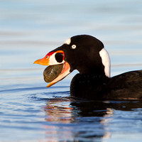 Surf Scoter, with clam