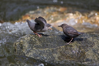 American Dipper, chick begging for food
