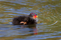 Common Gallinule, chick