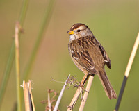 White-crowned Sparrow, immature / juvenile