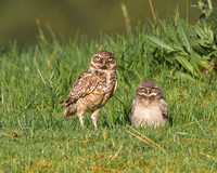 Burrowing Owl, adult and chick