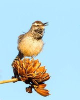 Cactus Wren, singing atop dry Agave flower