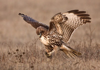 "The hawk begins to ""play"" with the vole."