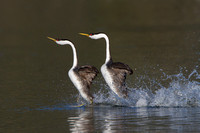 Western Grebes performing thier rushing dancing courtship display
