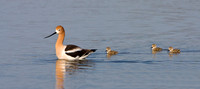 American Avocet, parent with chicks