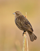 Red-winged (Bicolored) Blackbird, female