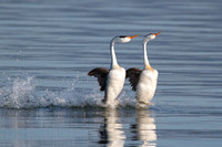 "Clark's Grebes, ""rushing"" courtship display"