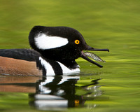 Hooded Merganser, male with fish (Stickleback)