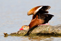 Black-bellied Whistling-Duck, stretching