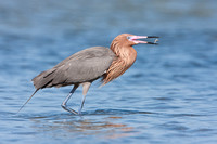 Reddish Egret, with fish