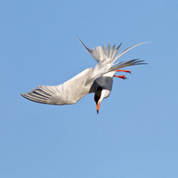 Forster's Tern, diving for fish