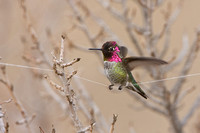 Anna's Hummingbird, perched on kite string