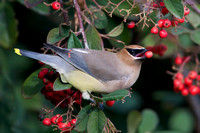 Cedar Waxwing eating berry