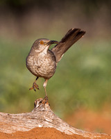 Curve-billed Thrasher