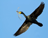 Double-crested Cormorant in flight with nest/nesting material